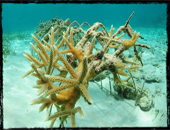 restauration project with Coral Point in Bayahibe Caribbean